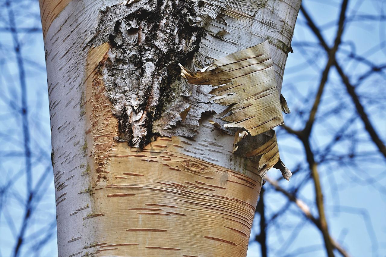 birch bark sheet